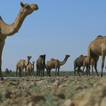 Camel Herd in GRK