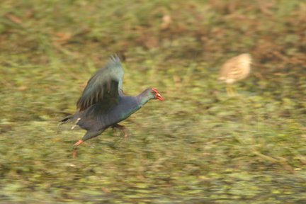 Purple Moorhen in flight