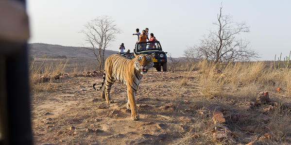Tigress in Ranthambhore