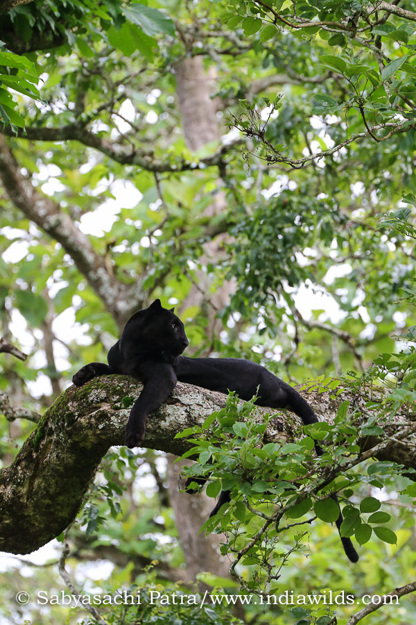 Black Panther, an extremely rare melanistic leopard, on a branch in Nagarhole Tiger Reserve India