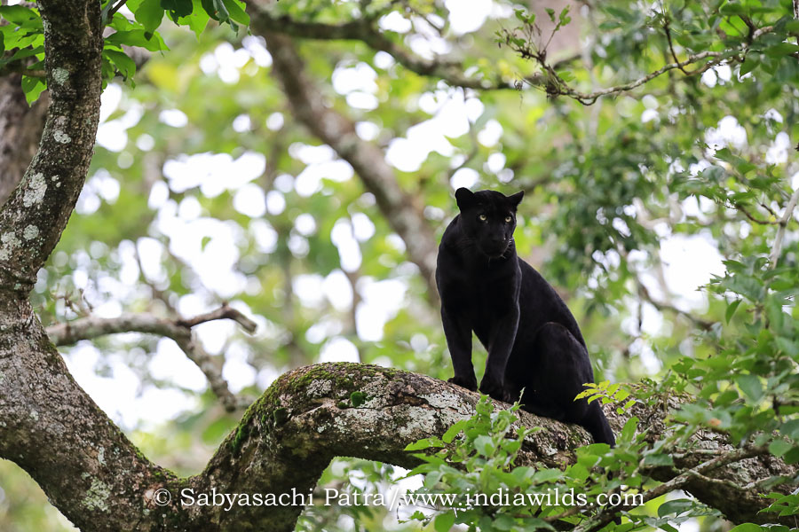 Black Panther surveying its surroundings from a branch in Nagarhole Tiger Reserve India