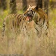 "When the Wildlife Hits Back: Tales from the Land of the Tiger  On two occasions I had been charged by a tiger. When people hear this, the immediate reaction is ""Wow"". Immediately, they feel jealous...."