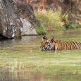 The Tiger in India – A Natural History By J. C. Daniel 'The Tiger in India – A Natural History' by the former curator of Bombay Natural History Society, Late J. C. Daniel is a […]