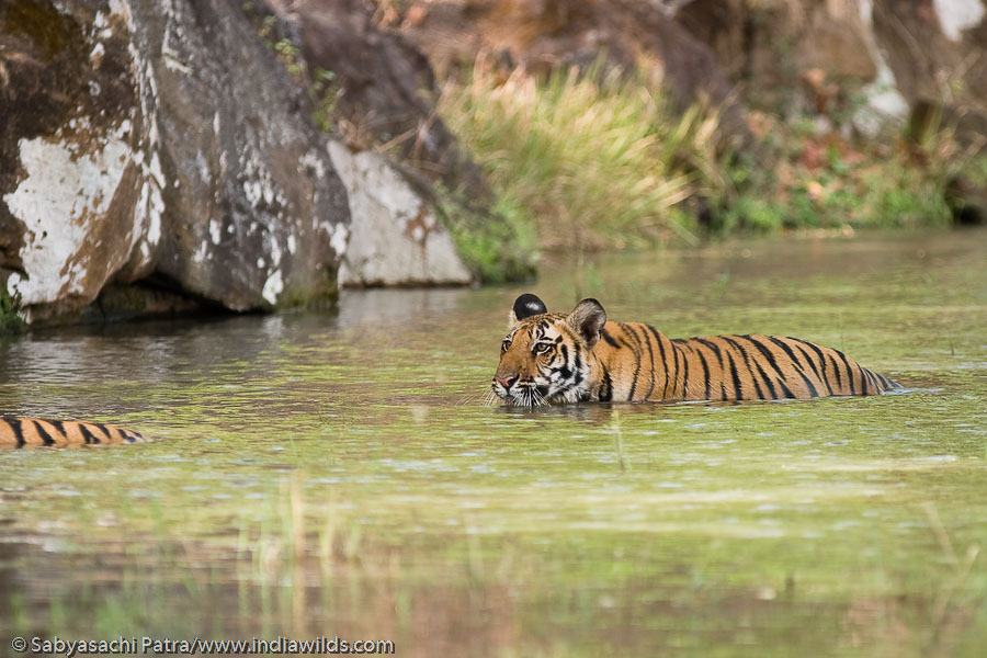 Wild tiger cub swimming behind its mother in water in Bandhavgarh National Park, India. Tigers are excellent swimmers.