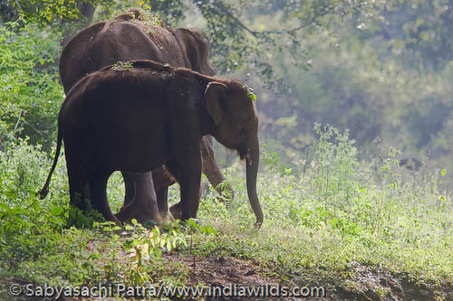 Elephants grazing in segur ghats, India