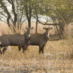 Nilgai's being called in India