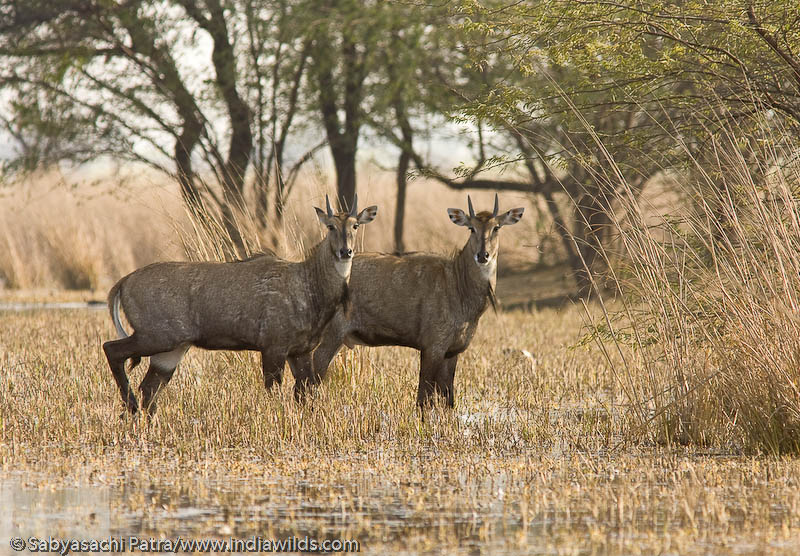 A pair of Nilgai or blue bulls (Boselaphus tragocamelus), India's largest antelope, alert and ready to run through the marsh in Sultanpur Bird Sanctuary, India