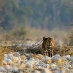 A wild tiger walking in a dry river bed in Corbett National Park, India