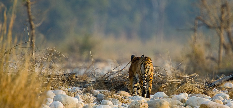 IndiaWilds Newsletter Vol. 8 Issue IV Celebrating Tigers in Dire Straits 51 tiger deaths in 2016 in the first quarter. According to conventional logic used by the Customs authorities, only 10% gets seized. If we […]