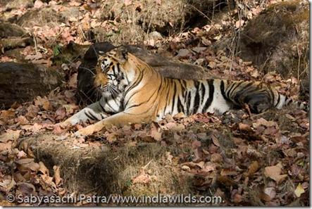 A pregnant wild tigress dozes off in a hillock in Bandhavgarh National Park, India