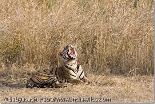 A wild tiger yawns in the grasslands of Bandhavgarh National Park, India