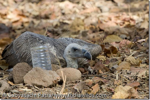 Water is kept on a plastic bottle near a immature white backed vulture that is fallen down from a tree in Bandhavgarh National Park, India. Vultures are endangered in India