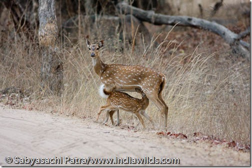 Deer fawn suckles from mother in Bandhavgarh National Park, India.