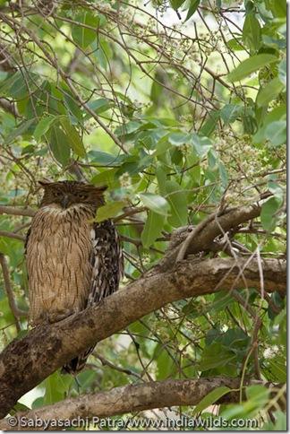 Dozing Owl