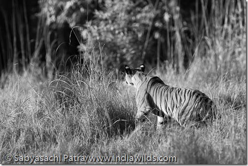 A wild tigress wakes up from sleep due to the sound of an approaching  deer in Bandhavgarh National Park, India.