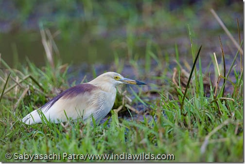Pond heron in breedng plummage in Bandhavgarh National Park, India