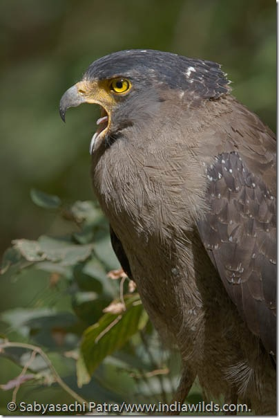 A Crested Serpent Eagle Spilornis Cheela calls in Bandhavgarh National Park, India