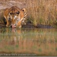 Bandhavgarh Diary 2008 Lot of people have written to me asking about my Bandhavgarh trips and how a Day in the Life of a Photographer like me looks like. So I thought of publishing the...