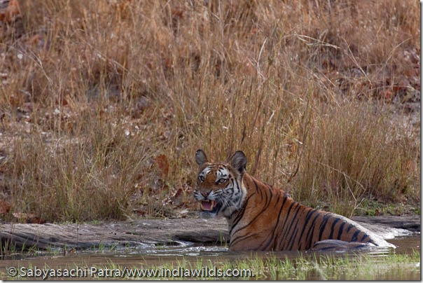 A wild tigress snarls at tourists while cooling off in a water hole in Bandhavgarh National Park.