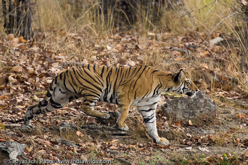 A wild tiger stalking its prey in Bandhavgarh National Park, india. The hind leg falls exactly at the same spot where its foreleg is, to minimise noise due to rustling of leaves.