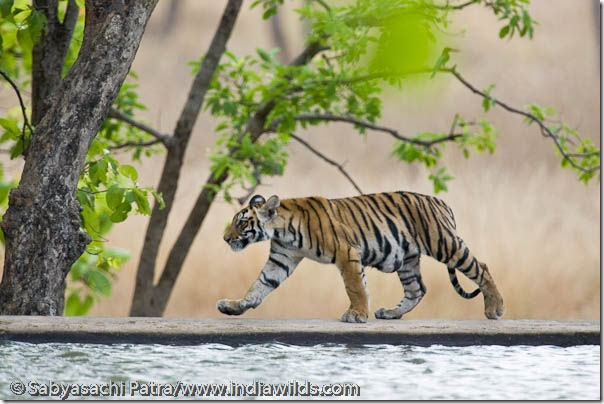 A wild tiger cub with tumor walks on the dam walls in Bandhavgarh National Park, India