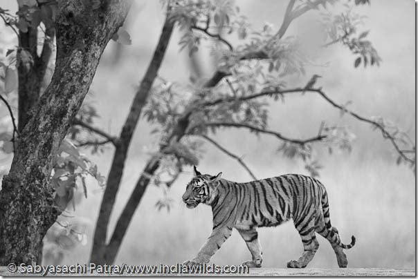 A wild tiger cub walks on the dam walls in Bandhavgarh National Park, India