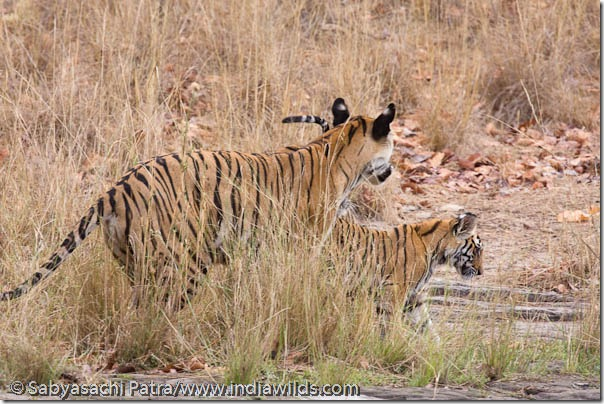 A wild Indian Tigress with cub in Bandhavgarh National Park, India