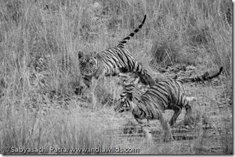Wild tiger cubs playing in Bandhavgarh National Park, India