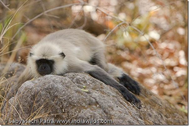 A langur monkey sleeps on a rock in Bandhavgarh National Park, India