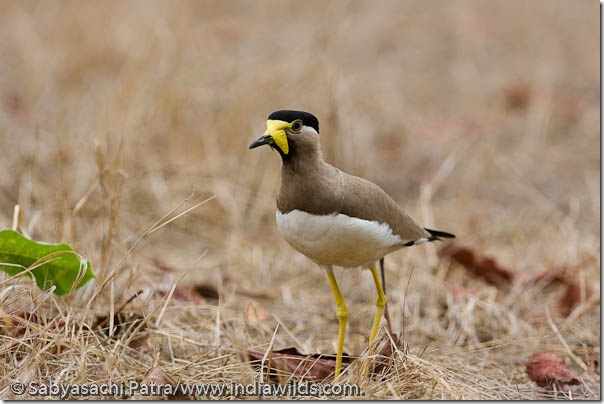 A Yellow-wattled Lapwing (Vanellus malabaricus) running in Bandhavgarh National Park, India