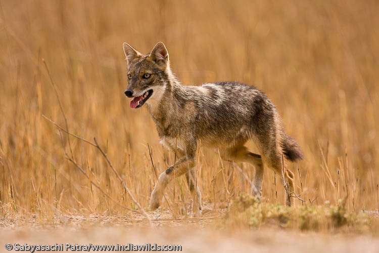 Jackals have the intelligence to store food for future