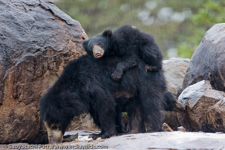 Soth bear and cubs in Rain
