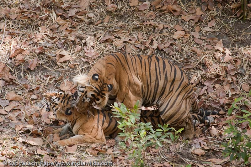 Wild Tigers Mating