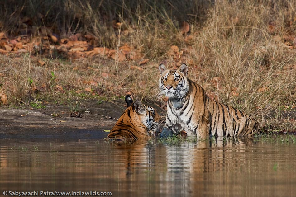 The wild tigress panthera tigris tigris gets out of water on the first signs of danger in Bandhavgarh National Park, India
