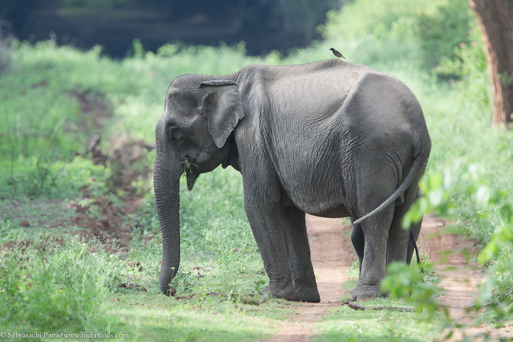 Elephant feeding grass in exotic infested landscape