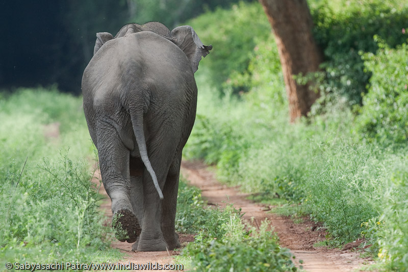 Elephant in invasives infested forest