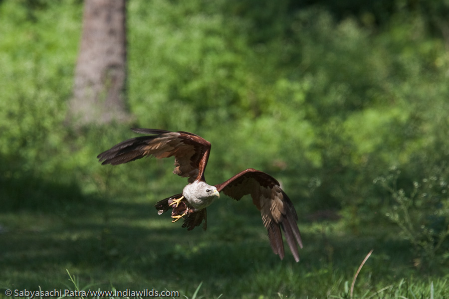 Brahminy Kite flying