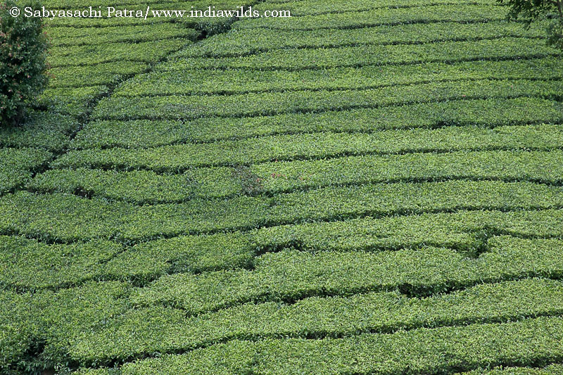 The neatly cut rows of tea bushes appear like a nice green lawn but are far from environment friendly as lot of synthetic pesticides are sprayed and they have come in prime forest areas