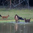 Wild India | Sambar attacking wild dogs &nbsp; I have been visiting many national parks, wildlife sanctuaries and other protected areas of Wild India and have documented many rare natural history moments involving predators. However,...
