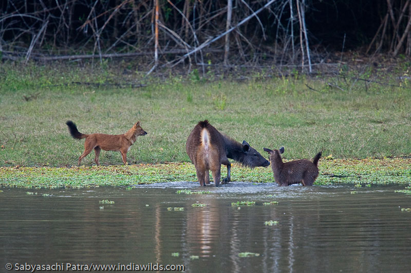 Wild India | Sambar attacking wild dogs   I have been visiting many national parks, wildlife sanctuaries and other protected areas of Wild India and have documented many rare natural history moments involving predators. However, […]