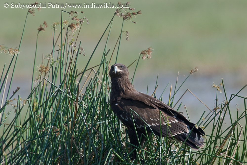 A migratory greater spotted eagle Aquila clanga on reeds in its wintering habitat at hessarghatta in India