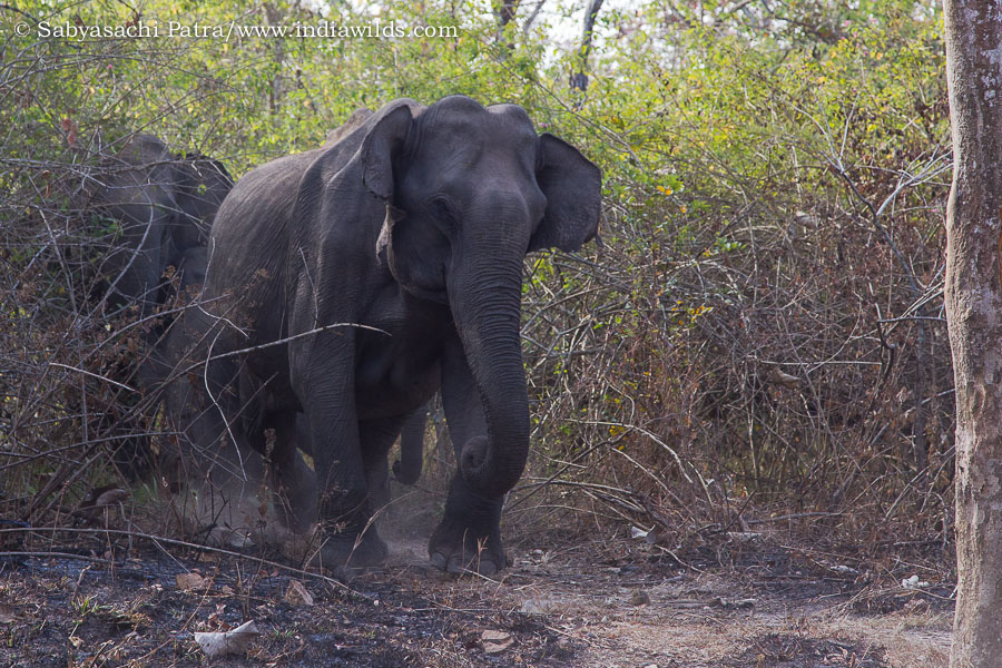 A wild asiatic elephant elephas maximus charging at a tourist bus that had come close to the herd in Bandipur Tiger Reserve. A few months back one elephant had fallen on a ditch in the same place and had died. It appeats that the elephants were more sensi