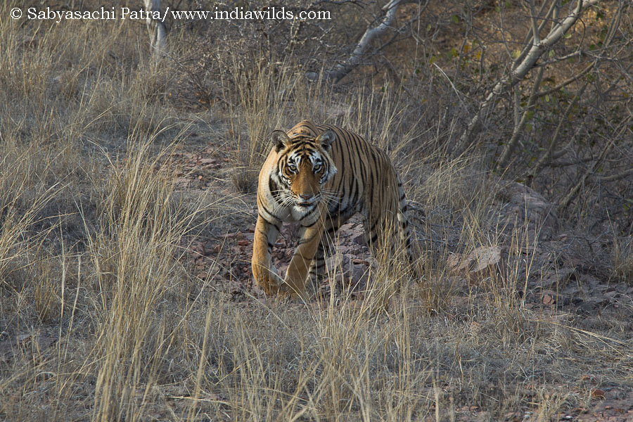 Wild Tigress in Ranthambhore
