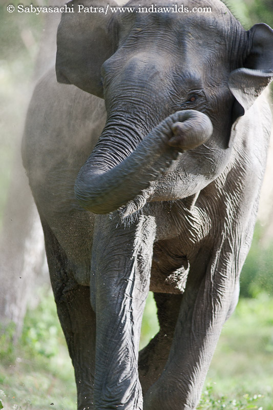 An angry elephant charges in Bandipur tiger reserve, India
