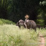 Elephants struggle to find grass in the midst of lantana and parthenium infestation