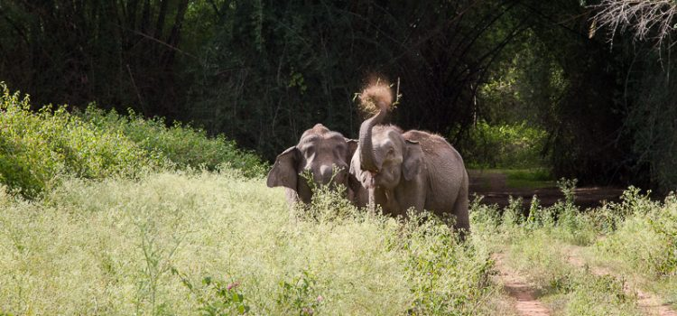IndiaWilds Newsletter Vol. 10 Issue XII ISSN 2394 – 6946 Download the full Newsletter PDF by clicking the below button – Trishanku: Indian Elephant nowhere to go When will we be ashamed of our actions? […]