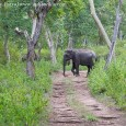 Wild India: Elephant Attack &#8211; How to know an elephant is going to charge &nbsp; How to tell if an elephant is about to charge is the second part of the article in the Wild...