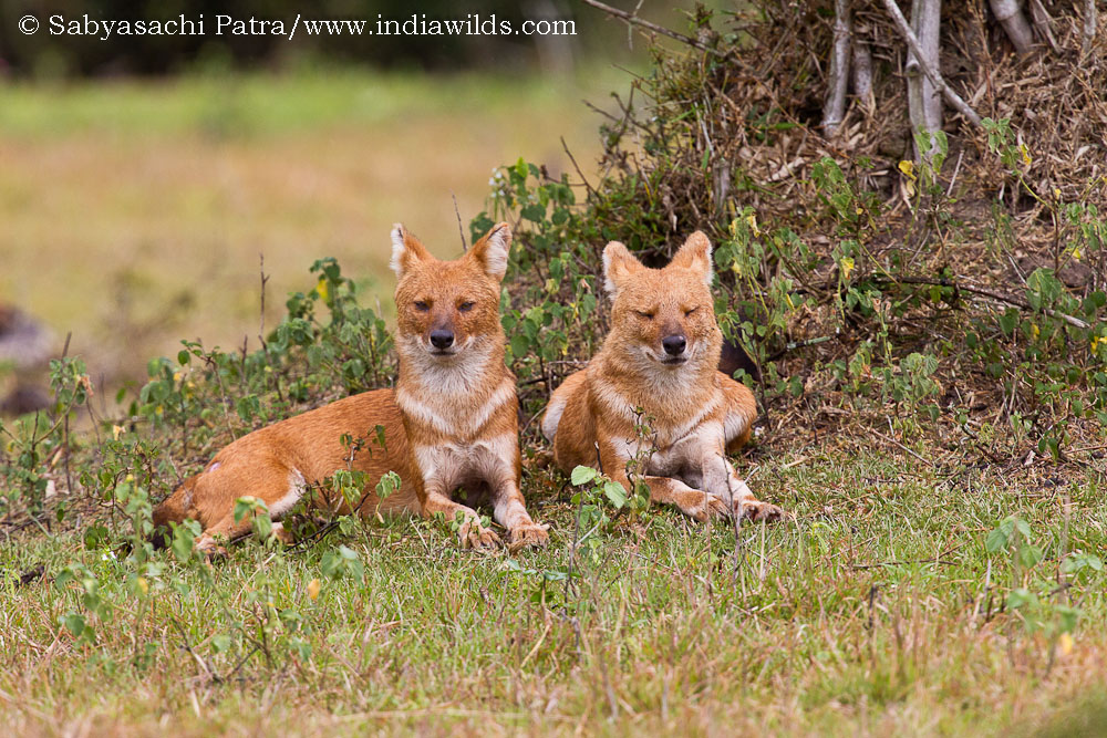 A pair of dholes or wild dogs