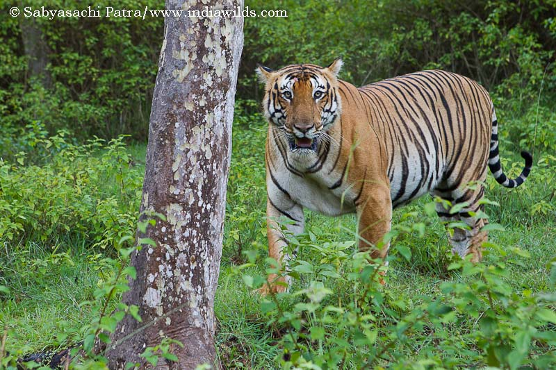 Tiger in Wild India: Image with EF 24-70 f2.8 L USM lens