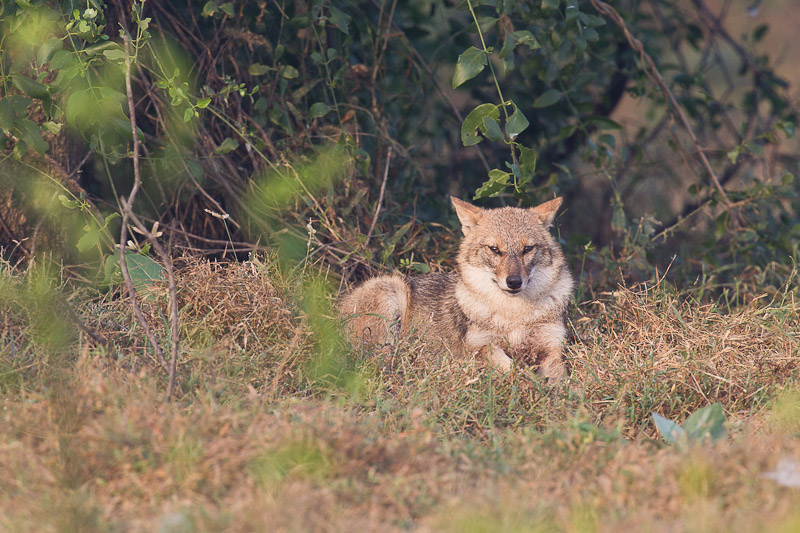 A Jackal in Keoladeo Ghana bird sanctuary, India